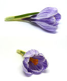 Crocuses on a white background Royalty Free Stock Photo