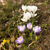Crocuses white and purple Royalty Free Stock Image