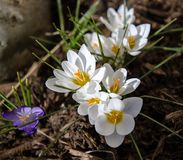 Crocuses 1. White crocuses signal the first sign of spring Stock Image