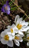 Crocuses 2. White crocuses signal the first signs of spring Stock Photography