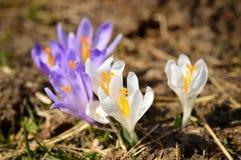 Crocuses wild flowers on spring meadow Stock Image