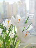 Crocuses on a window Royalty Free Stock Image