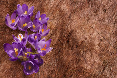 Crocuses on the withered grass Stock Photo