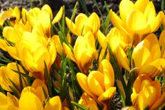 Crocuses. Yellow crocuses. First spring flowers Royalty Free Stock Photography