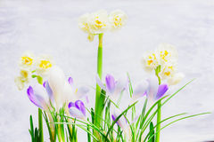 Crocuses and yellow narcissuses flowers on light background with, side view Royalty Free Stock Images