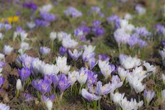 Crocusfield Stock Photos