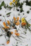 Crocuss που καλύπτεται κίτρινο με το χιόνι Στοκ Φωτογραφία