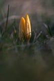 Crocussbloemen in een zonlicht stock foto's