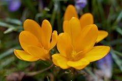 Crocusses amarelo - mola no bavaria de munich Fotografia de Stock