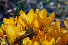 Crocusses amarelo - mola no bavaria de munich Imagens de Stock