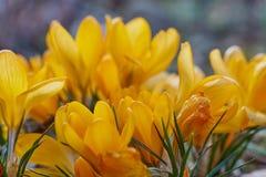Crocusses amarelo - mola no bavaria de munich Imagem de Stock