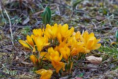 Crocusses amarelo - mola no bavaria de munich Foto de Stock Royalty Free