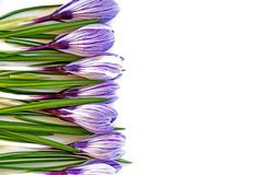 Crocusses as border background isolated on white. Spring flowers crocus as a border background isolated on white Royalty Free Stock Images