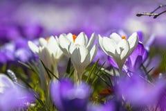 Crocusses brancos que florescem entre flores roxas Fotos de Stock