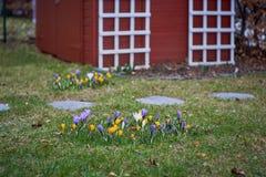 Crocusses in de lente in München Beieren royalty-vrije stock foto
