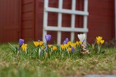 Crocusses in de lente in München Beieren royalty-vrije stock afbeelding