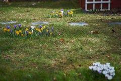 Crocusses in de lente in München Beieren stock afbeelding