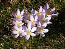 Crocusses de Violett no jardim Fotografia de Stock