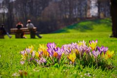 Crocusses in the english garden. Crocusses in a park in the middle of munich Stock Images