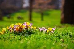 Crocusses in the english garden. Crocusses in a park in the middle of munich Royalty Free Stock Photo