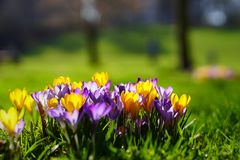 Crocusses in the english garden. Crocusses in a park in the middle of munich Royalty Free Stock Images