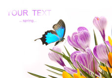 Crocusses with exotic butterfly Stock Image