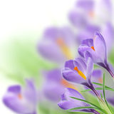 Crocusses on Green grass. Crocusses in Green grass on a white background Stock Photography