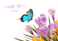 Crocusses met exotische vlinder Royalty-vrije Stock Afbeeldingen