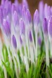 Crocusses nella primavera immagine stock libera da diritti