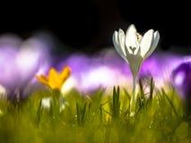 Crocusses que floresce na primeira luz solar em março Fotografia de Stock