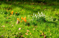 Crocusses and snowdrops Royalty Free Stock Image