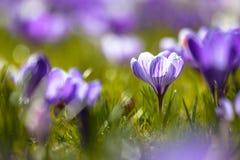 Crocusses som blommar i första ljus i marschen Arkivbild