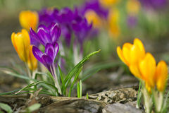 Crocusses Stock Image