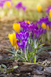 Crocusses Stock Images