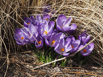 Crocussus Royalty Free Stock Images