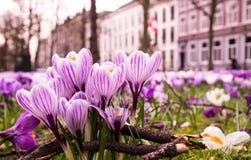 Crocussus púrpura y blanco en un campo Fotos de archivo libres de regalías