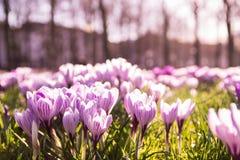 Crocussus púrpura y blanco en un campo Foto de archivo libre de regalías