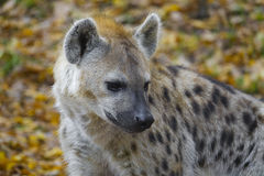 Crocuta crocuta - Spotted Hyena Stock Photos