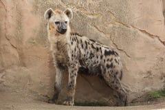 Crocuta macchiato del Crocuta dell'iena Immagini Stock Libere da Diritti