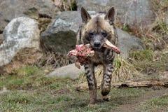 Crocuta macchiato del Crocuta dell'iena Fotografia Stock