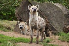 Crocuta macchiato del Crocuta dell'iena Immagini Stock