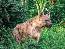 Crocuta macchiato del Crocuta dell'iena, anche conosciuto come la fine dell'iena di risata sulla fauna selvatica dell'animale di  Fotografie Stock Libere da Diritti