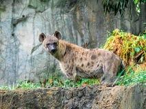 Crocuta macchiato del Crocuta dell'iena, anche conosciuto come la fine dell'iena di risata sulla fauna selvatica dell'animale di  Fotografia Stock Libera da Diritti