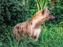 Crocuta macchiato del Crocuta dell'iena, anche conosciuto come la fine dell'iena di risata sulla fauna selvatica dell'animale di  Immagine Stock Libera da Diritti
