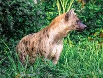 Crocuta macchiato del Crocuta dell'iena, anche conosciuto come la fine dell'iena di risata sulla fauna selvatica dell'animale di  Immagini Stock Libere da Diritti