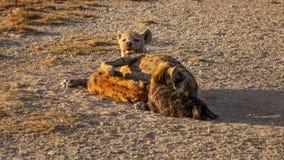 Crocuta macchiato del Crocuta dell'iena che alimenta il suo cucciolo fotografia stock libera da diritti