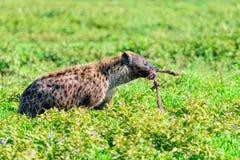 Crocuta manchado del Crocuta de la hiena Fotos de archivo libres de regalías
