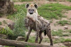 Crocuta repéré de Crocuta d'hyène images stock