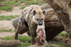 Crocuta repéré de Crocuta d'hyène photo stock