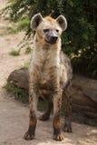 Crocuta repéré de Crocuta d'hyène photographie stock